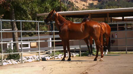 padok : Brown Horses Standing in Pasture Stok Video
