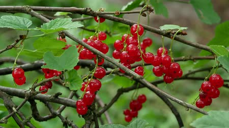 смородина : Red Ribes rubrum berries Redcurrant 4k