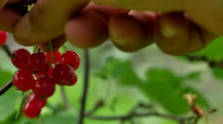 egres : Red Ribes rubrum berries Redcurrant 4k