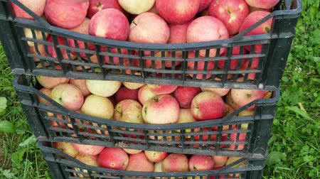 kratten : Apple fruit oogst video 4k Stockvideo
