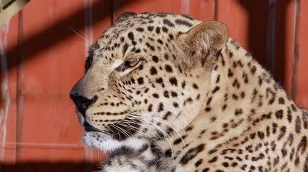 savana : Leopard close-up lie summer sun video
