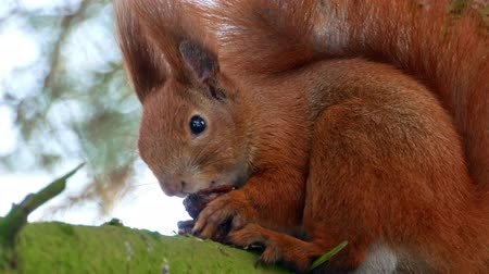 gnaw : Red Squirell eating walnut 4k