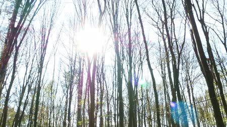beech tree : Spring forest sunny day