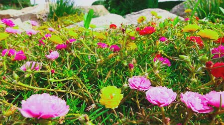 floriculture : Flowers Portulaca oleracea blooming in the garden with beautiful Stock Footage