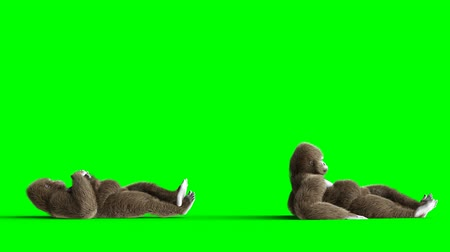 monkey : Funny brown gorilla lies idle. Super realistic fur and hair. Green screen 4K animation. Stock Footage
