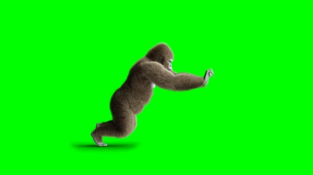 gorillas : Funny brown gorilla push. Super realistic fur and hair. Green screen 4K animation. Stock Footage