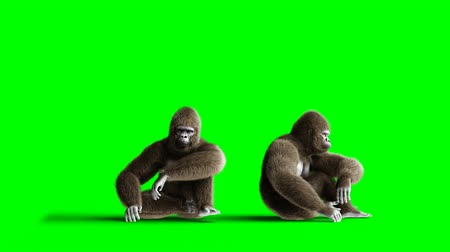 gorillas : Funny brown gorilla sits. Super realistic fur and hair. Green screen 4K animation.