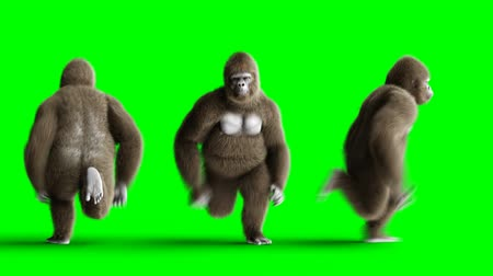 gorillas : Funny brown gorilla runing. Super realistic fur and hair. Green screen 4K animation.