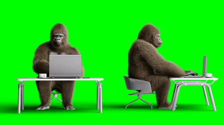 primates : Funny brown gorilla works behind a computer. Super realistic fur and hair. Green screen 4K animation. Stock Footage