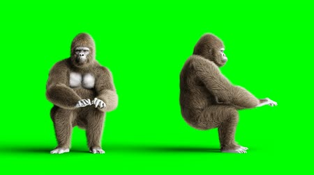 gorillas : Funny brown gorilla works behind a computer. Super realistic fur and hair. Green screen 4K animation. Stock Footage