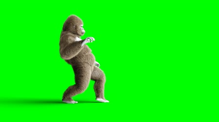 gorillas : Funny brown gorilla walking. Super realistic fur and hair. Green screen 4K animation. Stock Footage
