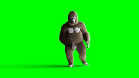 лидер : Funny brown gorilla dancing. Super realistic fur and hair. Green screen 4K animation. Стоковые видеозаписи