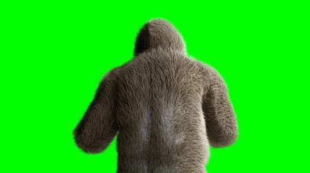 gorillas : Funny brown gorilla fighting. Super realistic fur and hair. Green screen 4K animation. Stock Footage