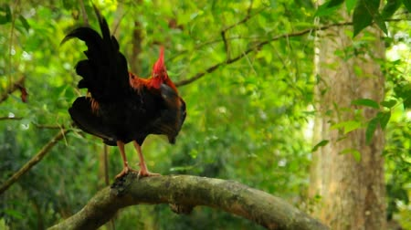 kakas : Rooster in a Forest and nature background