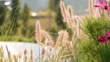 natal : Purple grasses flowing in the wind