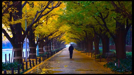 biloba : People visit yellow ginkgo trees and yellow ginkgo leaves at Icho Namiki avenue Tokyo,Japan Stock Footage