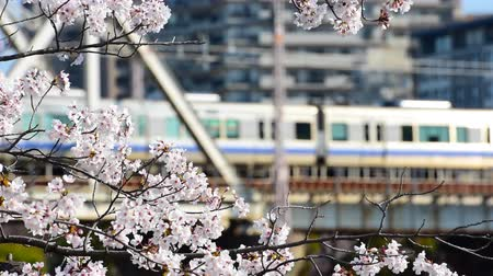 golyó : Blossom cherry branch over moving trains during springtime in Tokyo, Japan