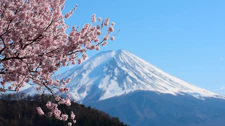 lanscape : Mount Fuji and cherry blossoms which are viewed from lake Kawaguchiko, Yamanashi, Japan Stock Footage