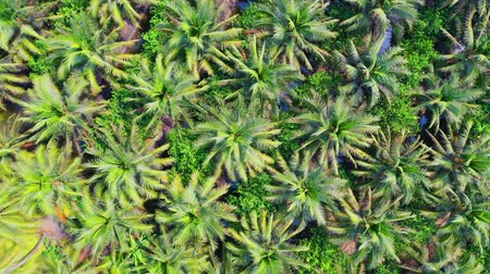 пальмовые деревья : Aerial view of coconut farm in Samut sakhon province,Thailand