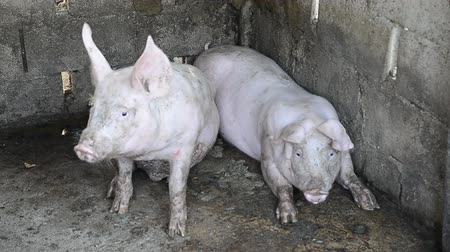 grotesque : Pigs on the farm
