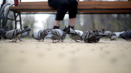kanatlar : A group of pigeon eating bread crumbs in the park Stok Video