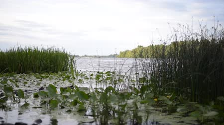 The shore, overgrown with reeds and lilies, a small wave and a light breeze. Stok Video