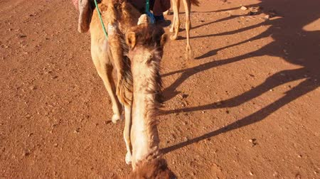 marrocos : Riding Camels on Zagora Desert in Morocco, Africa