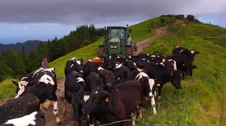sete : Cows in the Sete Cidades Zone on Sao Miguel, Azores Islands, Portugal Stock Footage