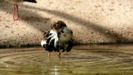 philomachus pugnax : closeup of aa female ruff preening her feathers in the water and making sound, Bird specie from Eurasia