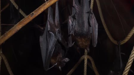 pteropus : Lyles flying foxes hanging on a branch together in closeup, tropical bats from Asia, Vulnerable animal specie