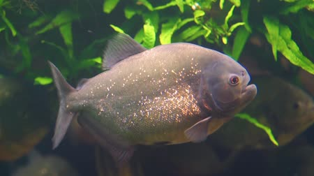 red bellied : closeup of a red bellied piranha swimming in the aquarium, tropical fish with golden glittering scales, beautiful ornamental cap, exotic fish specie from the amazon basin