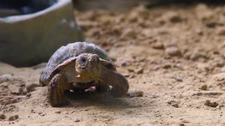 terrestre : closeup of a speckled cape tortoise walking in the sand, Endangered tropical turtle specie from namibia, Africa Stock Footage