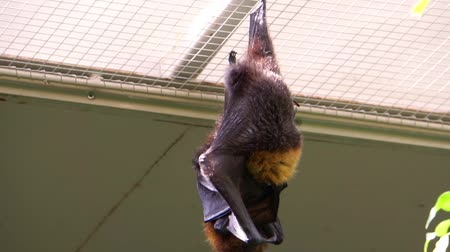 pteropus : closeup of a Rodrigues flying fox cleaning its fur, tropical fruit bat from Africa, endangered animal specie
