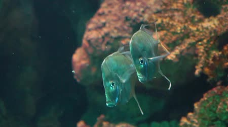flat head : couple of lookdown fishes swimming together in the water, funny silver flat fish, tropical specie from the atlantic ocean