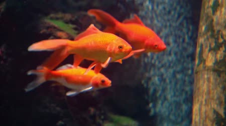 tutmak : closeup of a group of goldfishes in the aquarium, common and popular freshwater pets, tropical specie from Asia