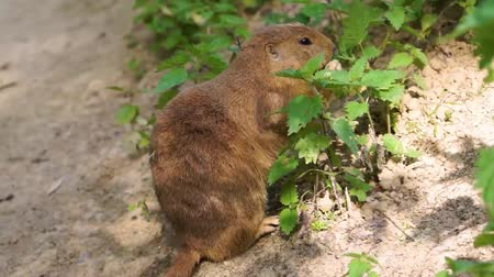 sciuridae : closeup of a black tailed prairie dog eating leaves from some green plants, feeding its self in the wild