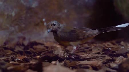 kuşçuluk : closeup of a white rumped shama picking up a worm, robin bird searching for food, bird eating a worm, tropical animal specie from Asia Stok Video