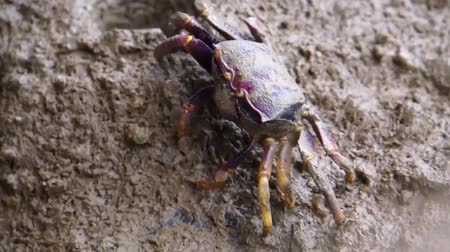 crab eating : closeup of a female fiddler eating crab, crab feeding behavior, tropical crustacean specie Stock Footage