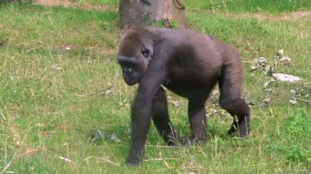 gorillas : closeup of a western gorilla walking through the grass, popular great ape specie from africa, Critically endangered animal species Stock Footage