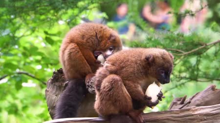 madagascan : red bellied lemur couple eating vegetables together, animal feeding, vulnerable primate specie from madagascar Stock Footage