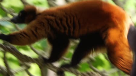 madagascan : closeup of a red ruffed lemur walking over a rope, critically endangered monkey specie from madagascar Stock Footage