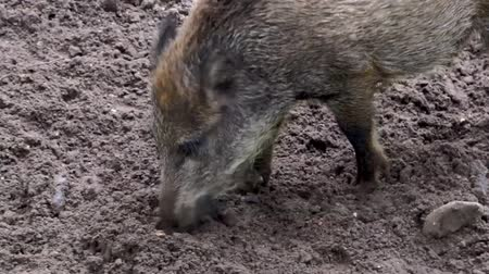cheirando : closeup of a wild swine rooting the sand for food, typical animal behavior Stock Footage