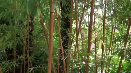 brotos : Bamboo forest with many stems and leaves, nature background video, Asian Garden foliage