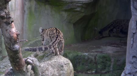 felidae : closeup of a mainland clouded leopard sitting on a rock and walking back to its family in a cave, Vulnerable animal specie from the mountains of Asia Stock Footage
