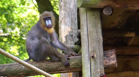 liste : Closeup of a female mandrill sitting on a wooden beam, vulnerable primate specie from africa