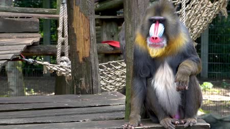 esfinge : Male mandrill sitting down and watching around, tropical primate specie from Africa, Vulnerable animal species