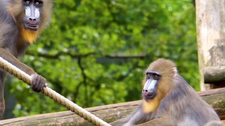 liste : two playful female mandrill monkeys playing together, primate behavior, Vulnerable animal specie from Africa Stok Video