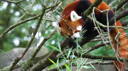 Red panda high in a tree eating green leaves, endangered animal specie from Asia