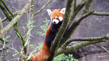 Red panda standing high in a tree looking around, Endangered animal specie from Asia Vídeos