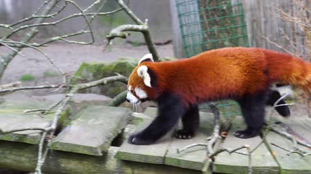 red panda walking around in circles, Endangered animal specie from Asia Vídeos